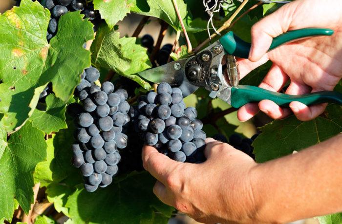 Les vignerons de Roquemaure